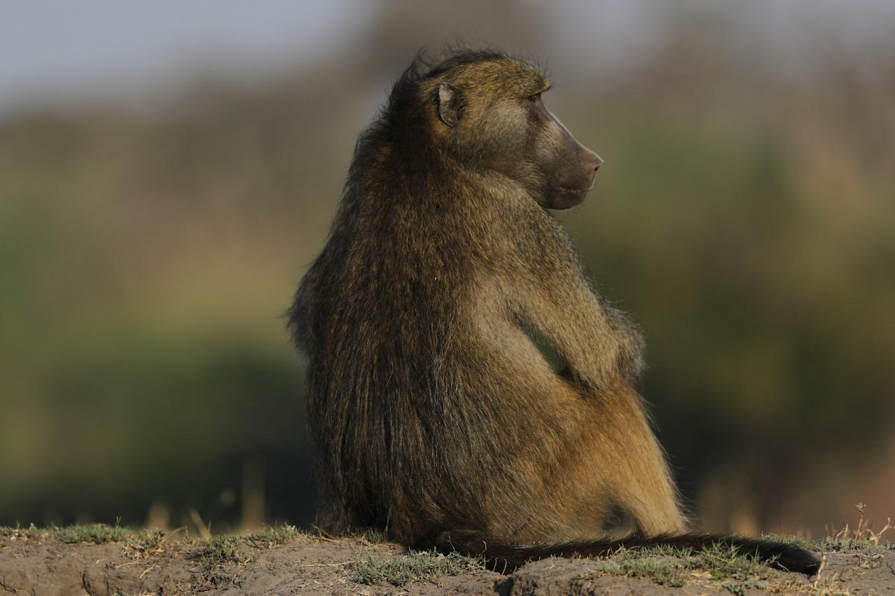 Chacma Baboon, Botswana, Africa Safari, Naturalist Journeys, Wildlife Tour, Africa Wildlife