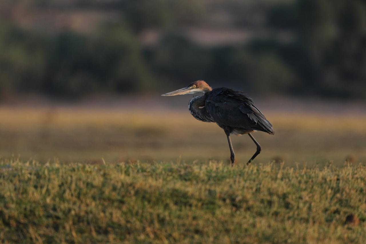Goliath Heron, Botswana, Africa Safari, Naturalist Journeys, Wildlife Tour, Africa Wildlife