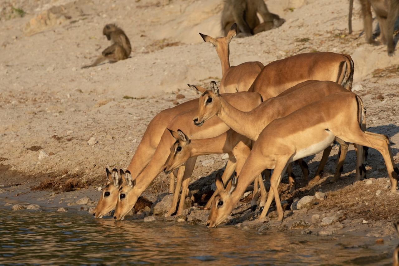 Impala, Botswana, Africa Safari, Naturalist Journeys, Wildlife Tour, Africa Wildlife