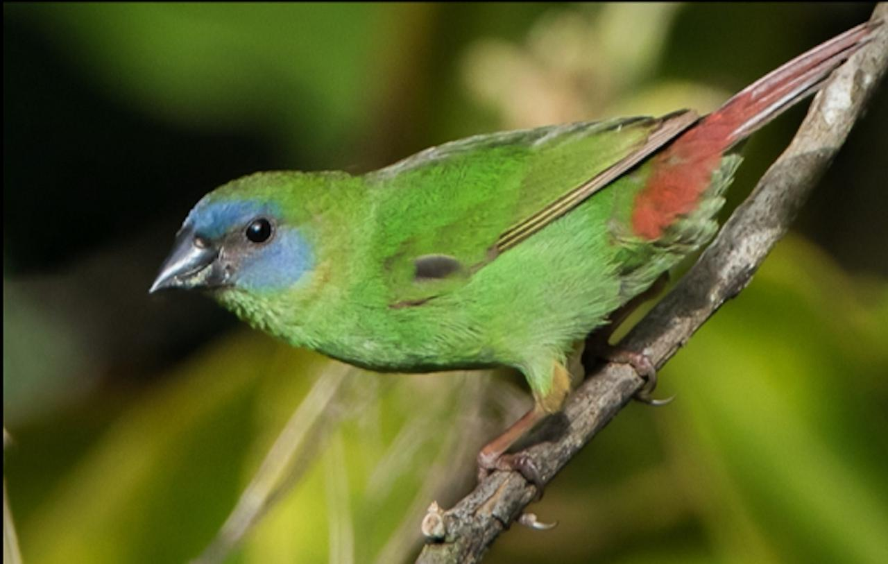 Blue-faced Parrotfinch, Australia, Queensland's Wet Tropics, Australia Wildlife Tour, Parrot