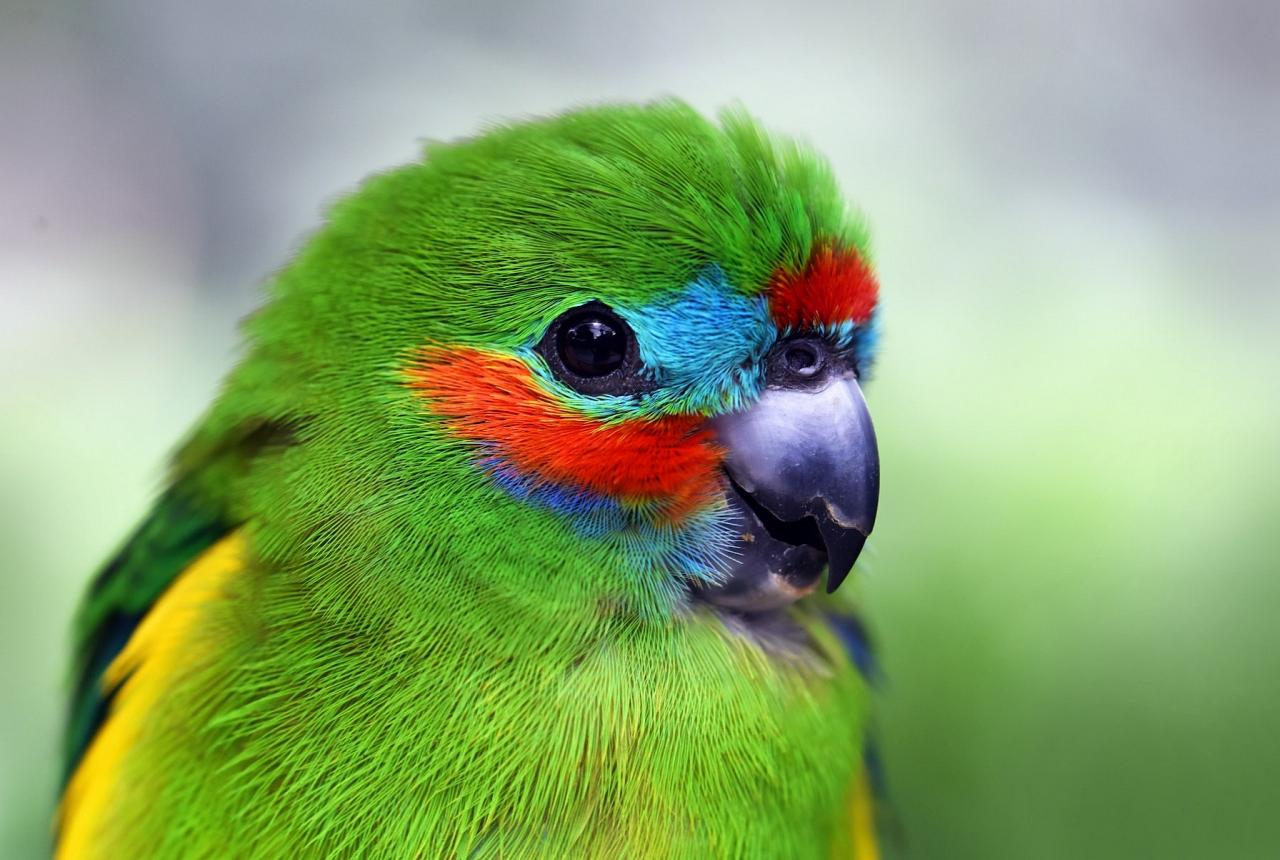Double-eyed Fig Parrot, Australia, Queensland's Wet Tropics, Australia Wildlife Tour, Parrot