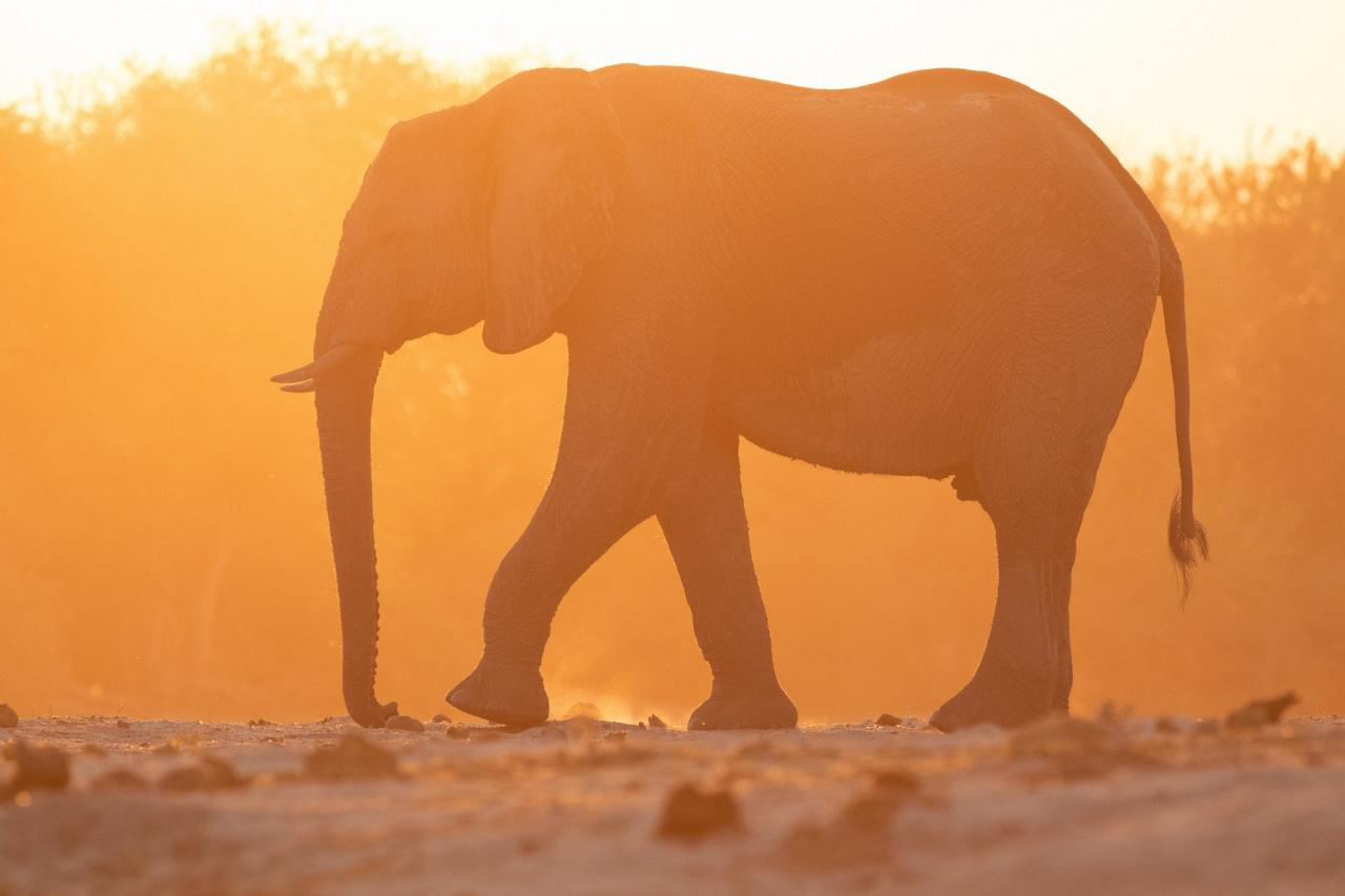 Elephant, Botswana, Africa Safari, Naturalist Journeys, Wildlife Tour, Africa Wildlife