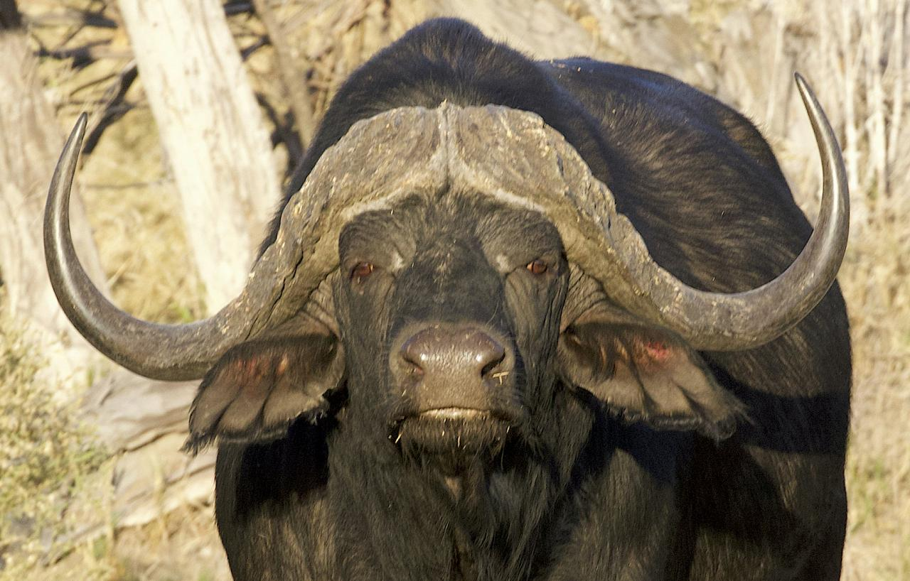 Cape Buffalo, Botswana, Africa Safari, Naturalist Journeys, Wildlife Tour, Africa Wildlife