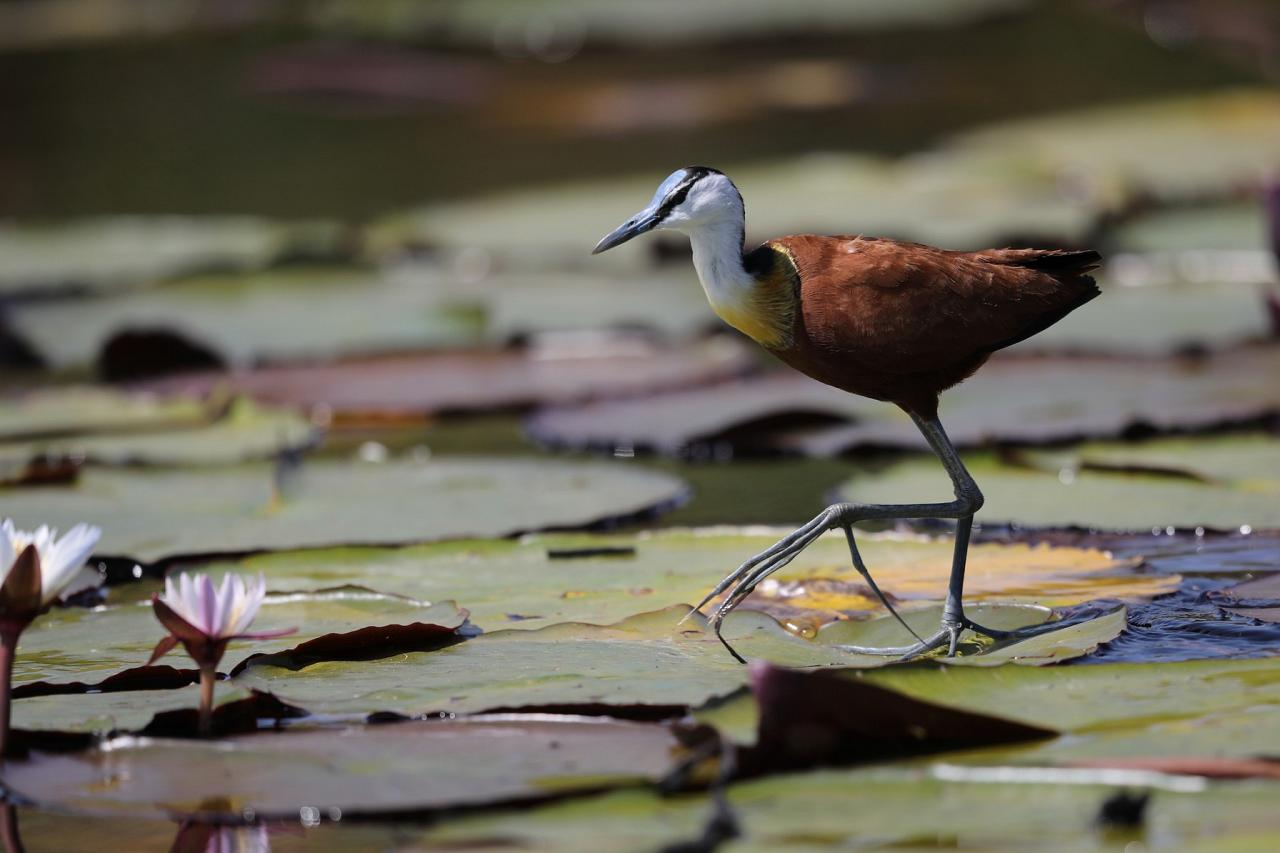 African Jacana, Botswana, Africa Safari, Naturalist Journeys, Wildlife Tour, Africa Wildlife