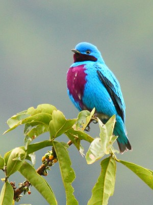 Lovely Cotinga, Belize, Belize Birding Tour, Belize Nature Tour, Naturalist Journeys