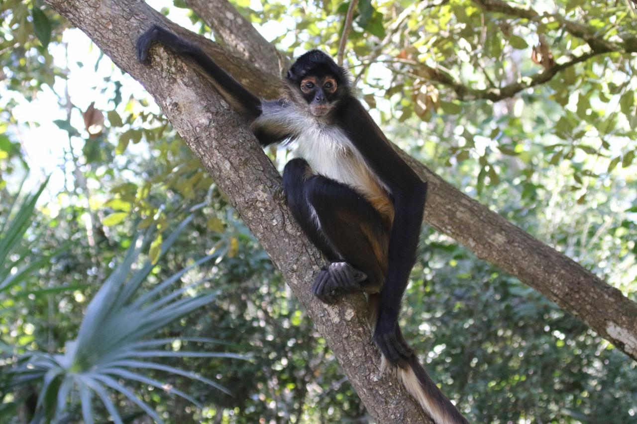Central American Spider Monkey, Belize, Central America, Monkey, Naturalist Journeys, Wildlife Tour, Belize Wildlife