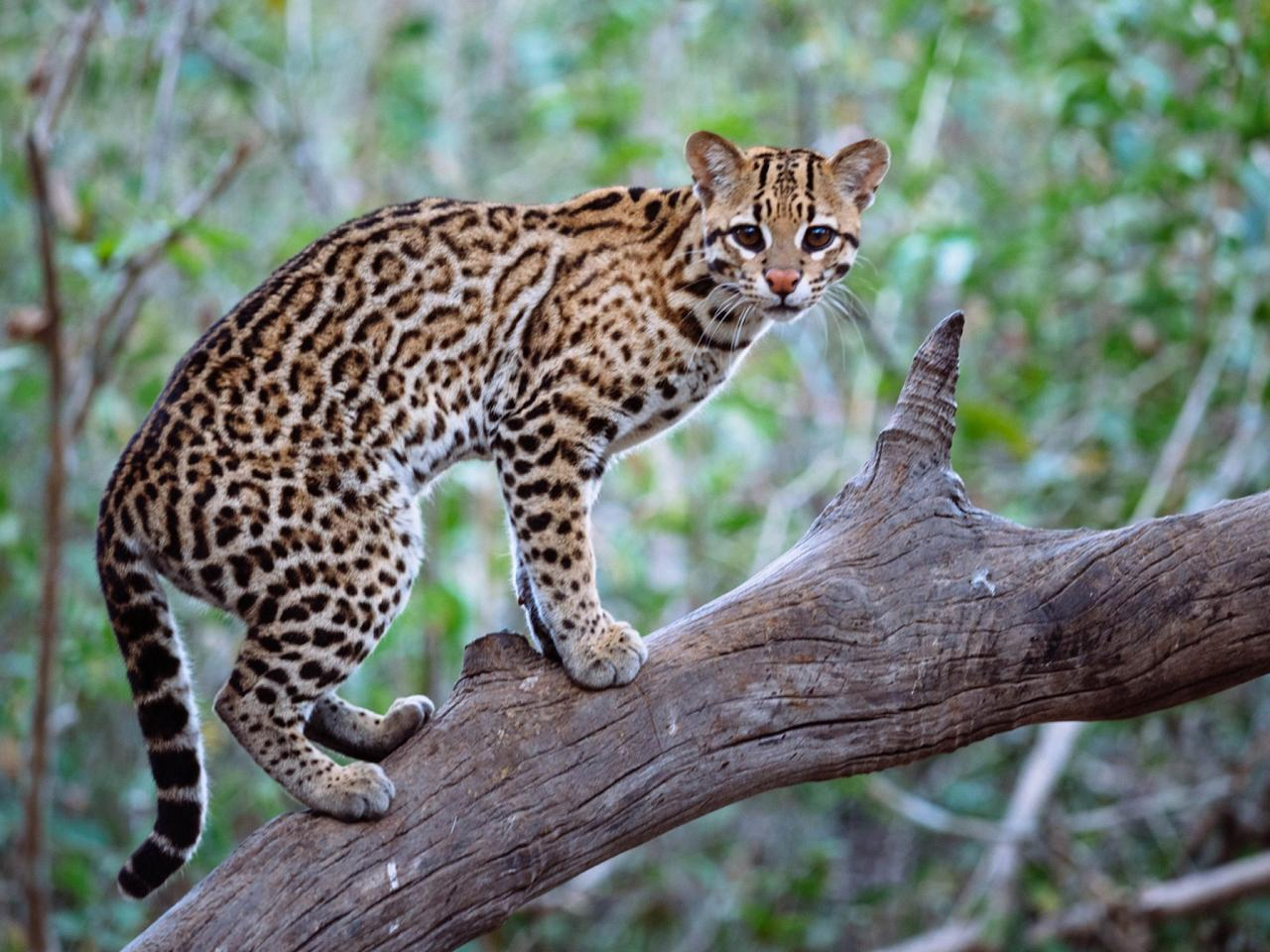 Ocelot, Belize, Central America, Naturalist Journeys, Wildlife Tour, Belize Wildlife