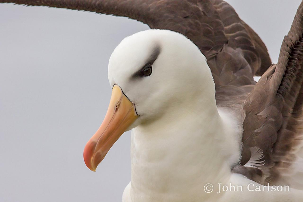 Black-browed Albatross, Antarctica, Antarctic Nature Cruise, Antarctic Birding Cruise, Antarctic Cruise, Naturalist Journeys