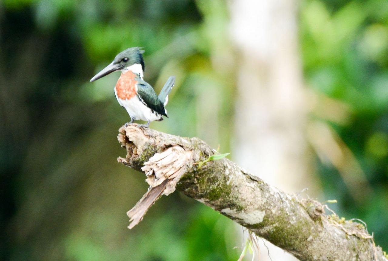 Amazon Kingfisher, Costa Rica, Costa Rica Birding Tour, Costa Rica Nature Tour, Winter Costa Rica Tour, Naturalist Journeys