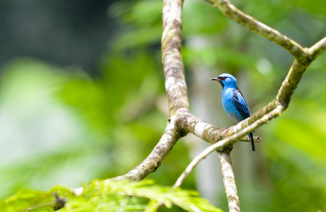 Blue Dacnis, Costa Rica, Costa Rica Birding Tour, Costa Rica Nature Tour, Winter Costa Rica Tour, Naturalist Journeys