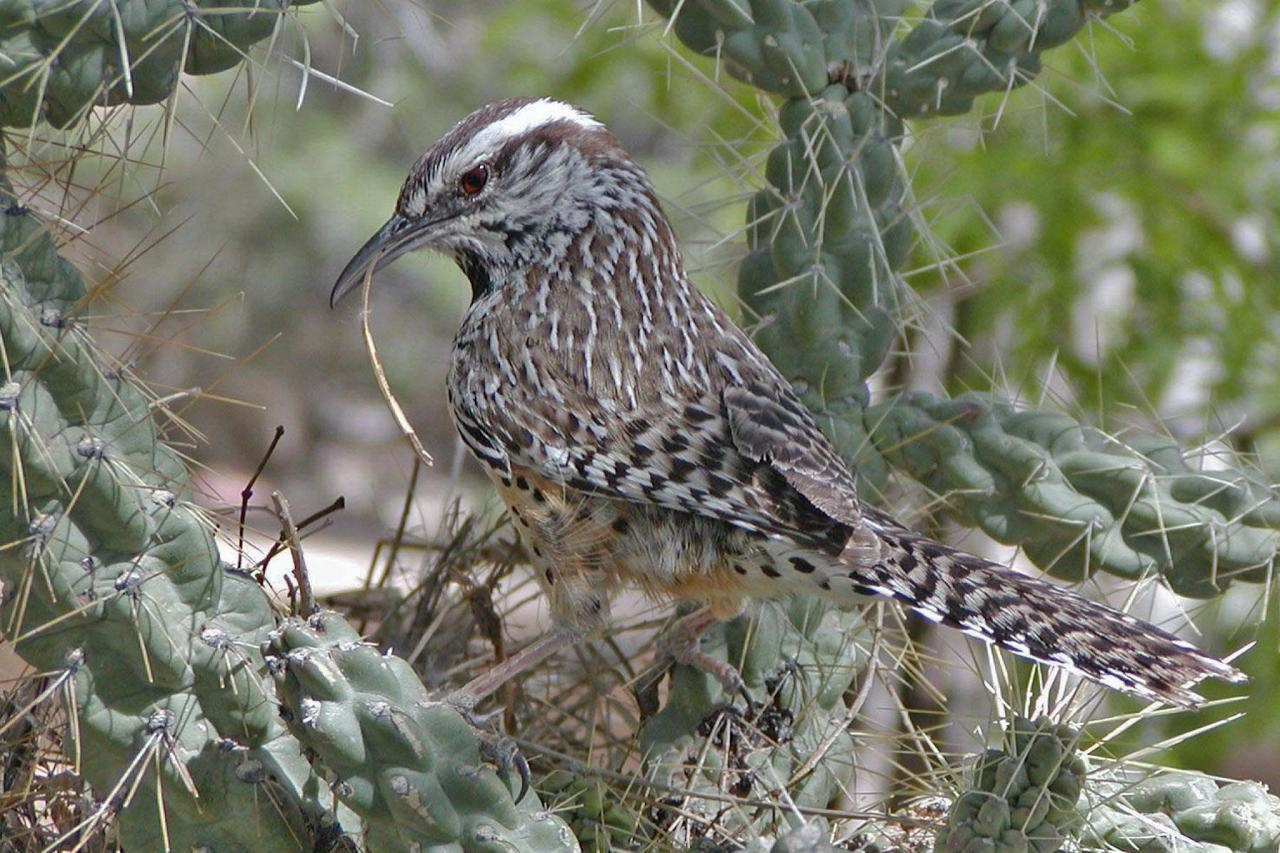 Cactus Wren, Arizona, Arizona Nature Tour, Arizona Birding Tour, Naturalist Journeys