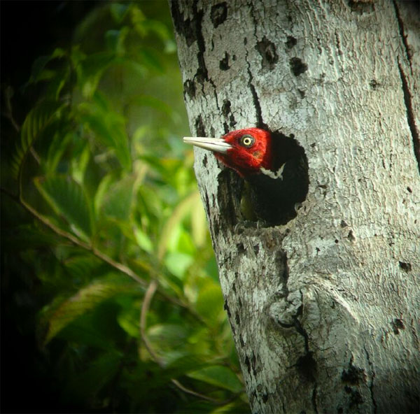 Pale-billed Woodpecker, Belize, Naturalist Journeys, Belize Birding Tour, Belize Nature Tour