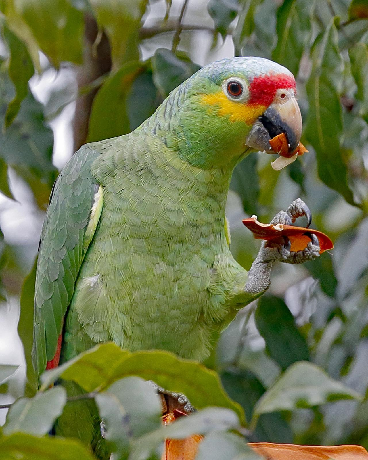 Red-lored Parrot, Belize, Belize Birding Tour, Belize Nature Tour, Winter Belize Tour, Naturalist Journeys