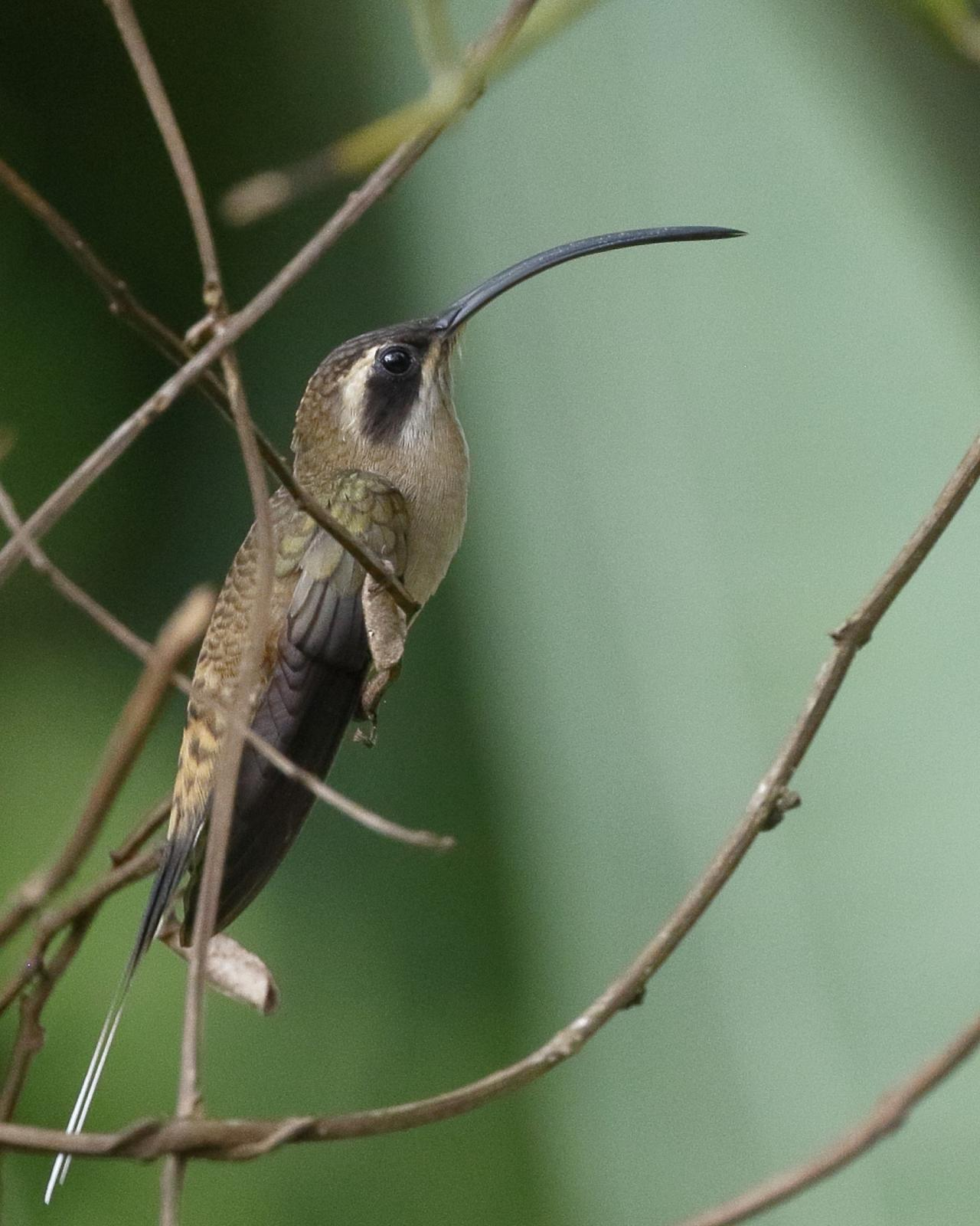 Long-billed Hermit, Belize, Belize Birding Tour, Belize Nature Tour, Winter Belize Tour, Naturalist Journeys