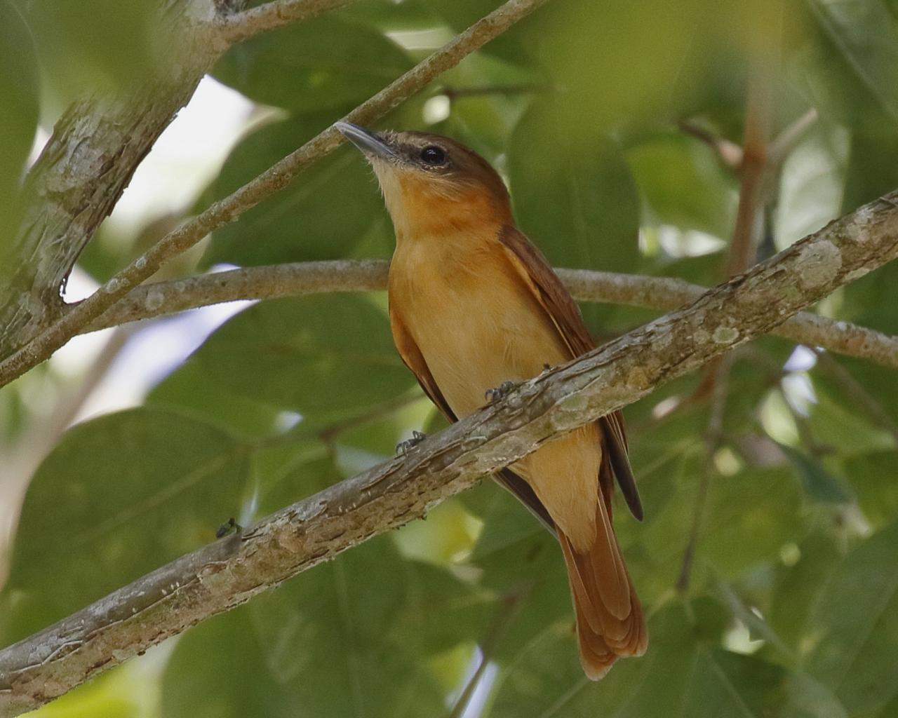 Cinnamon Becard, Belize, Belize Birding Tour, Belize Nature Tour, Winter Belize Tour, Naturalist Journeys