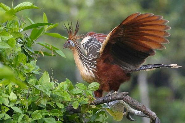 Hoatzin, Guyana, Guyana Nature Tour, Guyana Birding Tour, Guyana Wildlife Tour; Naturalist Journeys