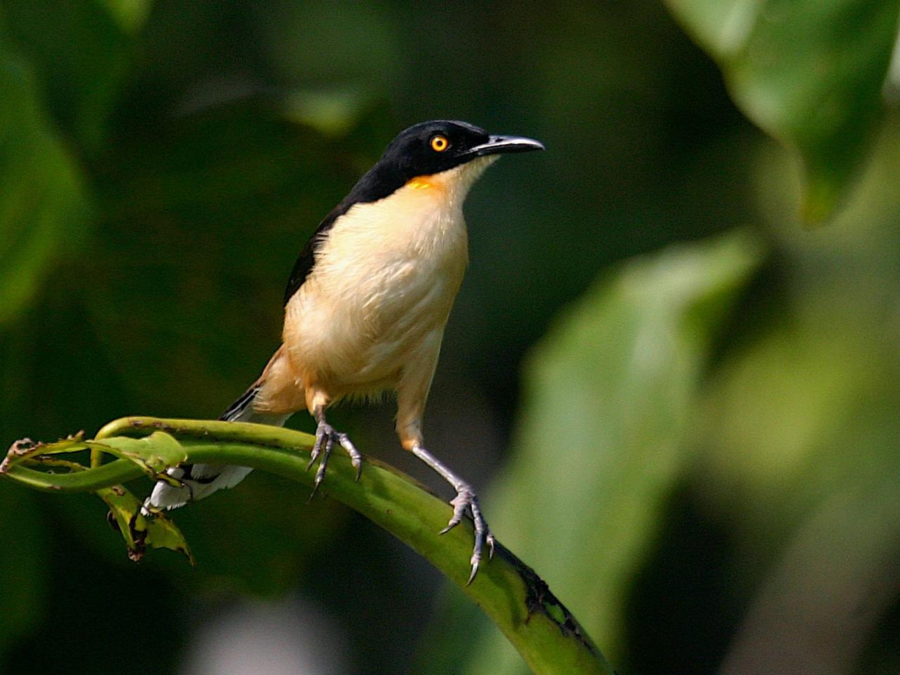 Black-capped Donacobius, Guyana, Guyana Nature Tour, Guyana Birding Tour, Guyana Wildlife Tour; Naturalist Journeys
