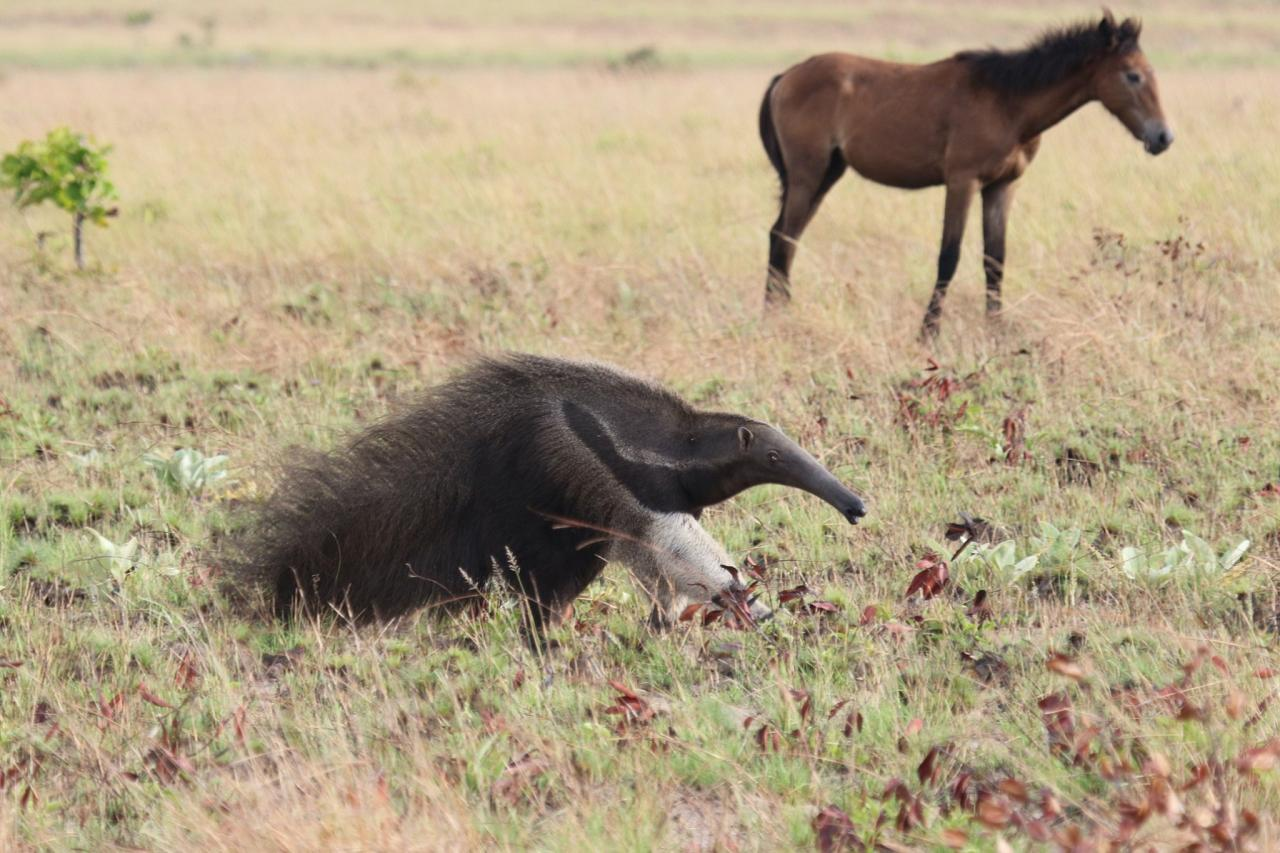 Giant Anteater, Guyana, Guyana Nature Tour, Guyana Birding Tour, Guyana Wildlife Tour; Naturalist Journeys