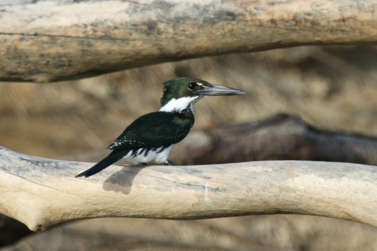 Green Kingfisher, Guyana, Guyana Nature Tour, Guyana Birding Tour, Guyana Wildlife Tour; Naturalist Journeys