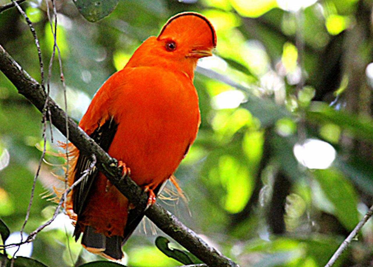 Guianan Cock-of-the-rock, Guyana, Guyana Nature Tour, Guyana Birding Tour, Guyana Wildlife Tour; Naturalist Journeys