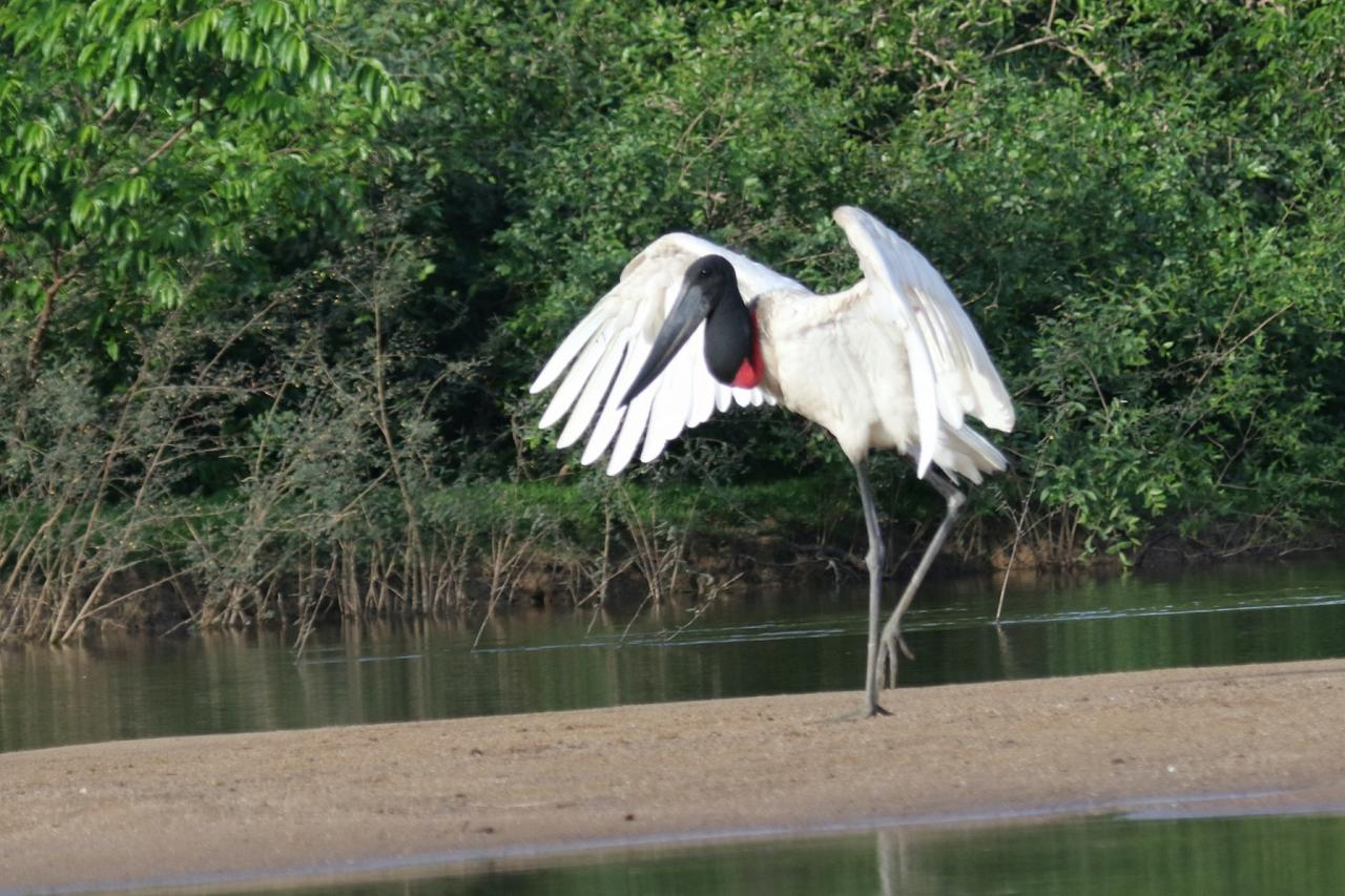 Jabiru, Guyana, Guyana Nature Tour, Guyana Birding Tour, Guyana Wildlife Tour; Naturalist Journeys
