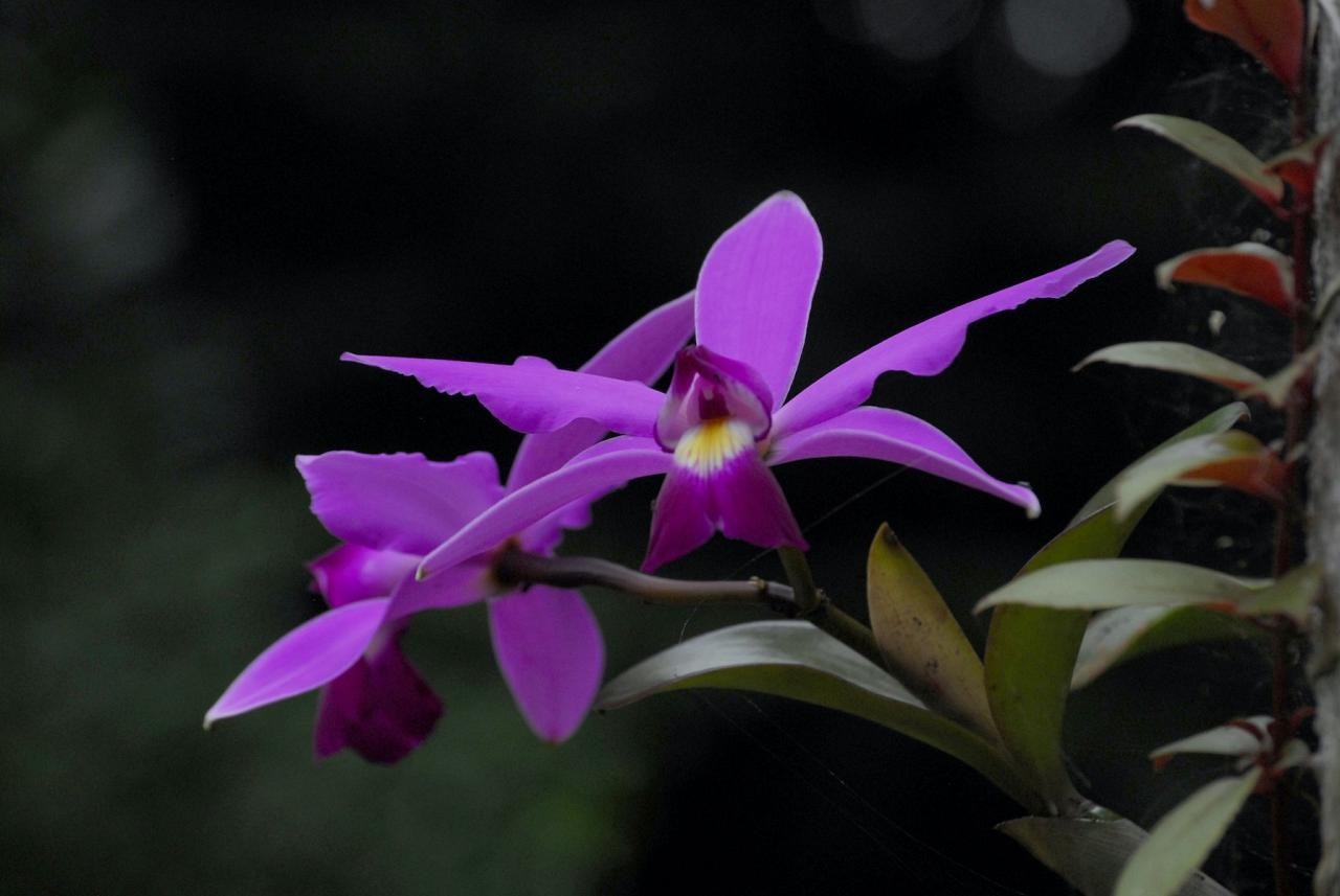 Orchid, Guyana, Guyana Nature Tour, Guyana Birding Tour, Guyana Wildlife Tour; Naturalist Journeys
