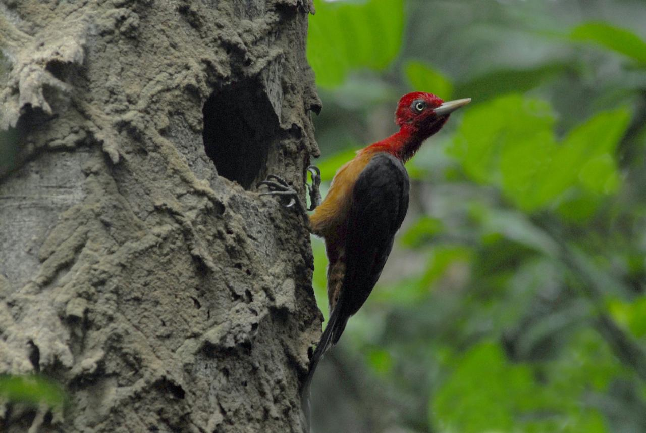 Red-necked Campephilus, Guyana, Guyana Nature Tour, Guyana Birding Tour, Guyana Wildlife Tour; Naturalist Journeys