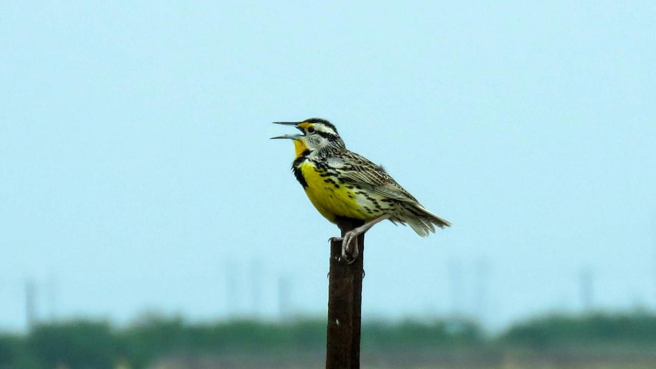 Eastern Meadowlark, South Texas, South Texas Nature Tour, South Texas Birding Tour, Naturalist Journeys