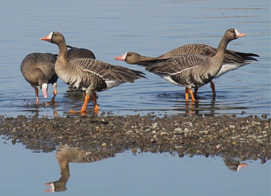 Greater White-fronted Goose, California, California Birding Tour, California Wildlife Tour, California Nature Tour | Naturalist Journeys