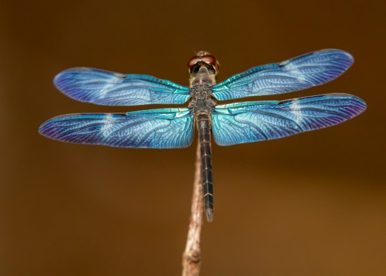 Amazon Sapphirewing, Dragonfly, Trinidad, Dragonfly Nature Tour, Trinidad Entomology Tour, Naturalist Journeys