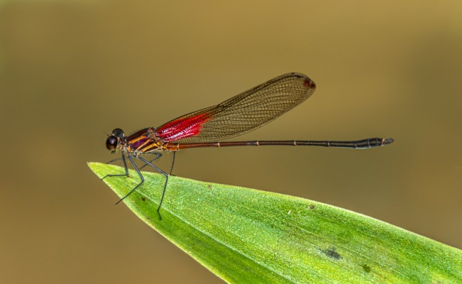 Raquet-tipped Rubyspot, Dragonfly, Trinidad, Dragonfly Nature Tour, Trinidad Entomology Tour, Naturalist Journeys