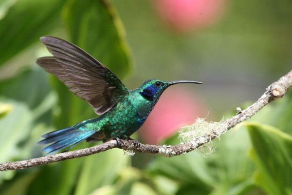 Green Violetear, Panama, Panama Nature Tour, Panama Birding Tour, Naturalist Journeys