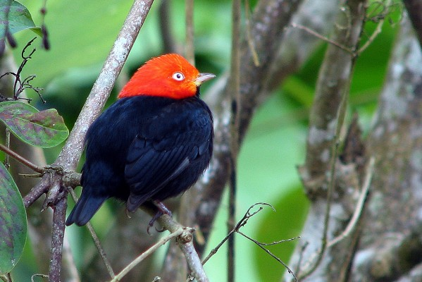 Red-capped Manakin, Panama, Panama Nature Tour, Panama Birding Tour, Naturalist Journeys
