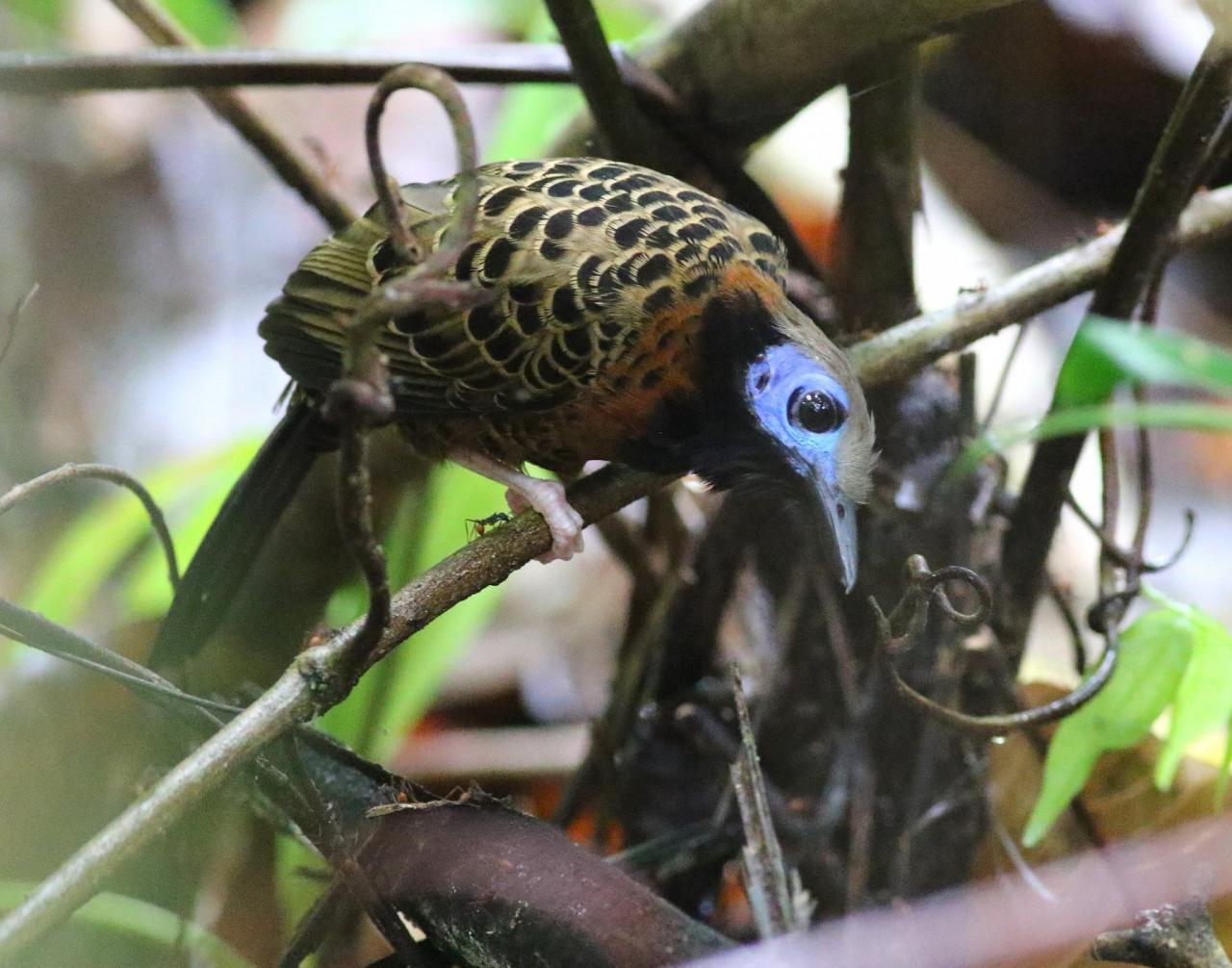 Ocellated Antbird, Panama, Panama Nature Tour, Panama Birding Tour, Naturalist Journeys