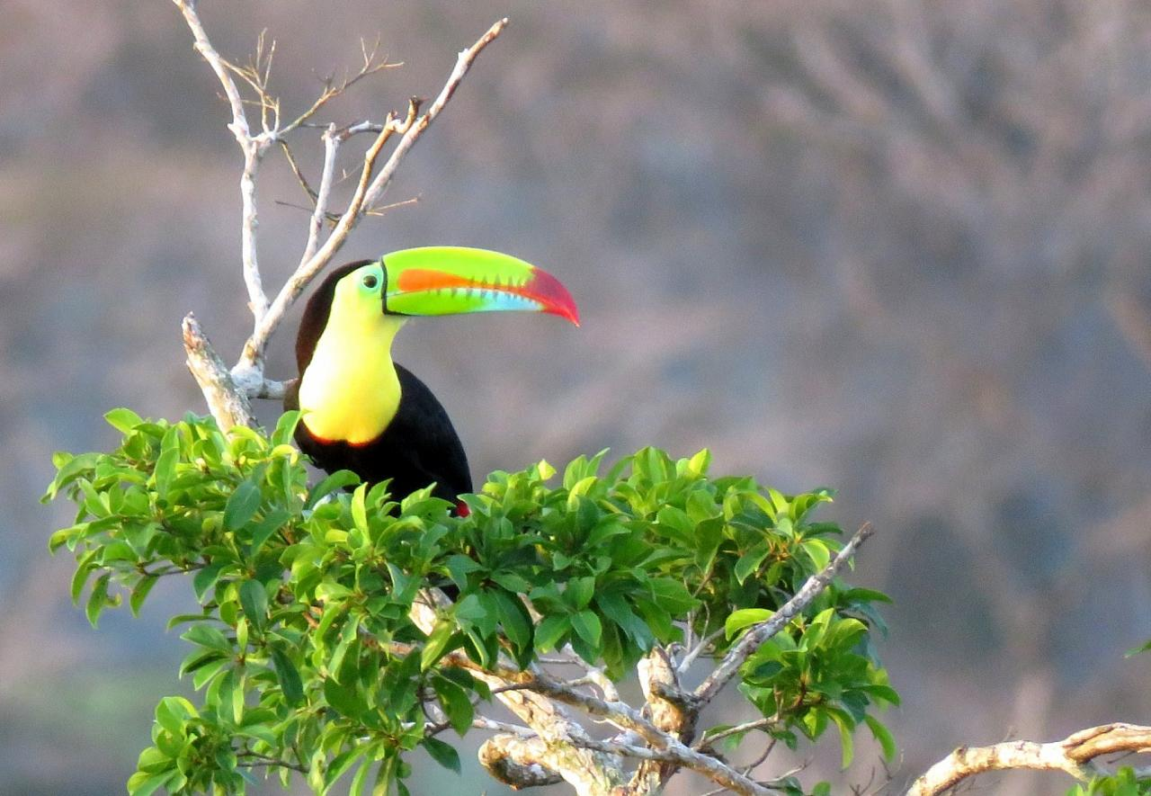 Keel-billed Toucan, Panama, Panama Nature Tour, Panama Birding Tour, Naturalist Journeys