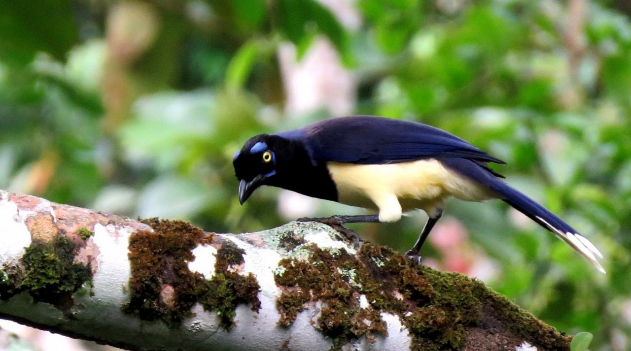 Black-chested Jay, Panama, Panama Nature Tour, Panama Birding Tour, Naturalist Journeys