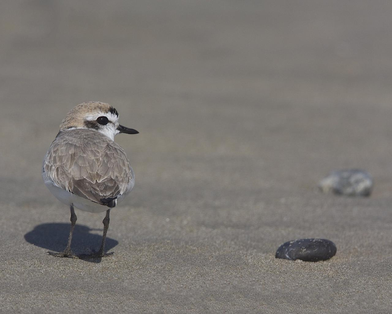 Snowy Plover, Pacific Northwest, Olympic Peninsula, Olympic National Park, Washington, Naturalist Journeys