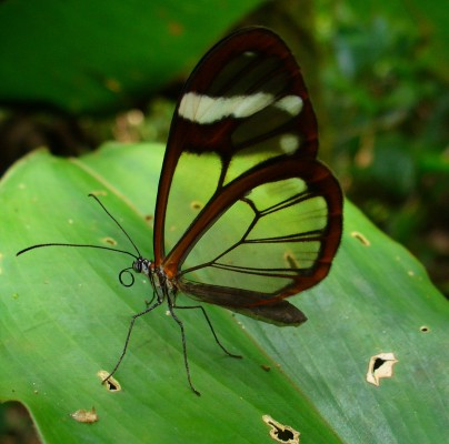 Glasswing Butterfly, Honduras, Honduras Birding Tour, Honduras Butterfly Tour, Naturalist Journeys