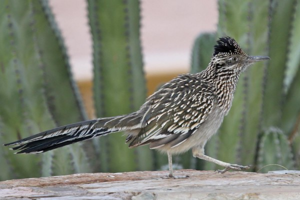 Roadrunner, Southeast Arizona, Arizona, Arizona Nature Tour, Arizona Birding Tour, Naturalist Journeys