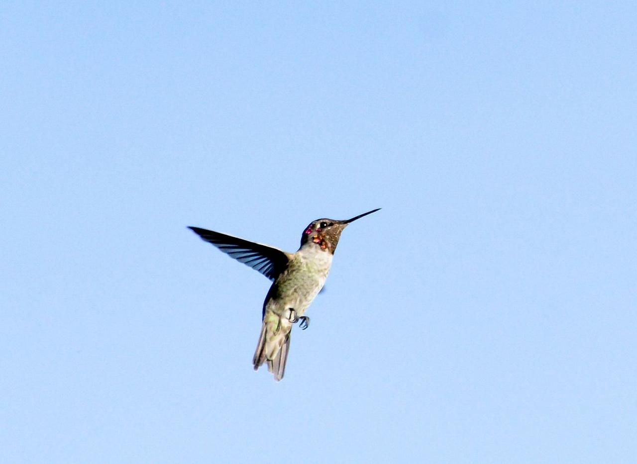 Anna's Hummingbird, Southeast Arizona, Arizona, Arizona Nature Tour, Arizona Birding Tour, Naturalist Journeys