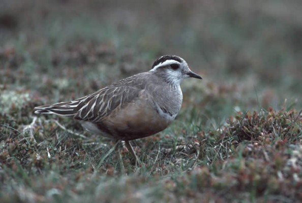 Dotterel, Scotland Nature Tour, Scotland Birding Tour, Naturalist Journeys
