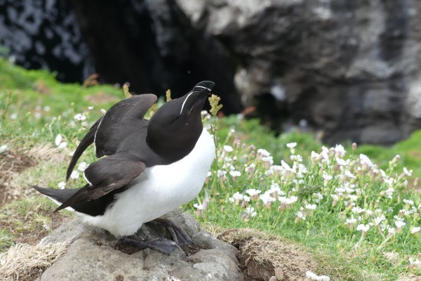 Razorbill, Scotland, Scotland Nature Tour, Scotland Birding Tour, Naturalist Journeys