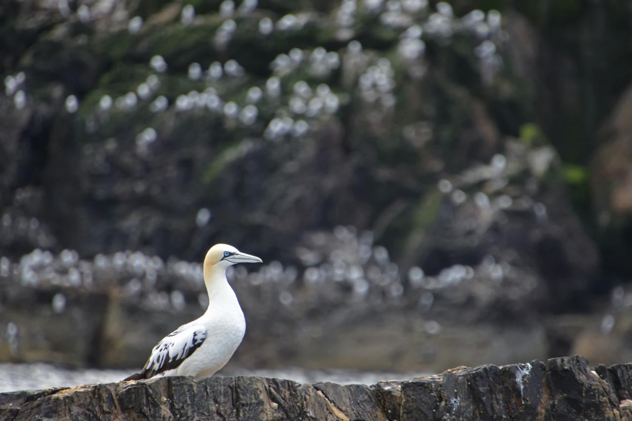 Northern Gannet, Scotland, Scottish Highlands, Scottish Islands, Scotland Birding Tour, Scotland Nature Tour, Naturalist Journeys
