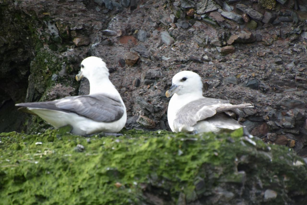Fulmars, Scotland, Scottish Highlands, Scottish Islands, Scotland Birding Tour, Scotland Nature Tour, Naturalist Journeys