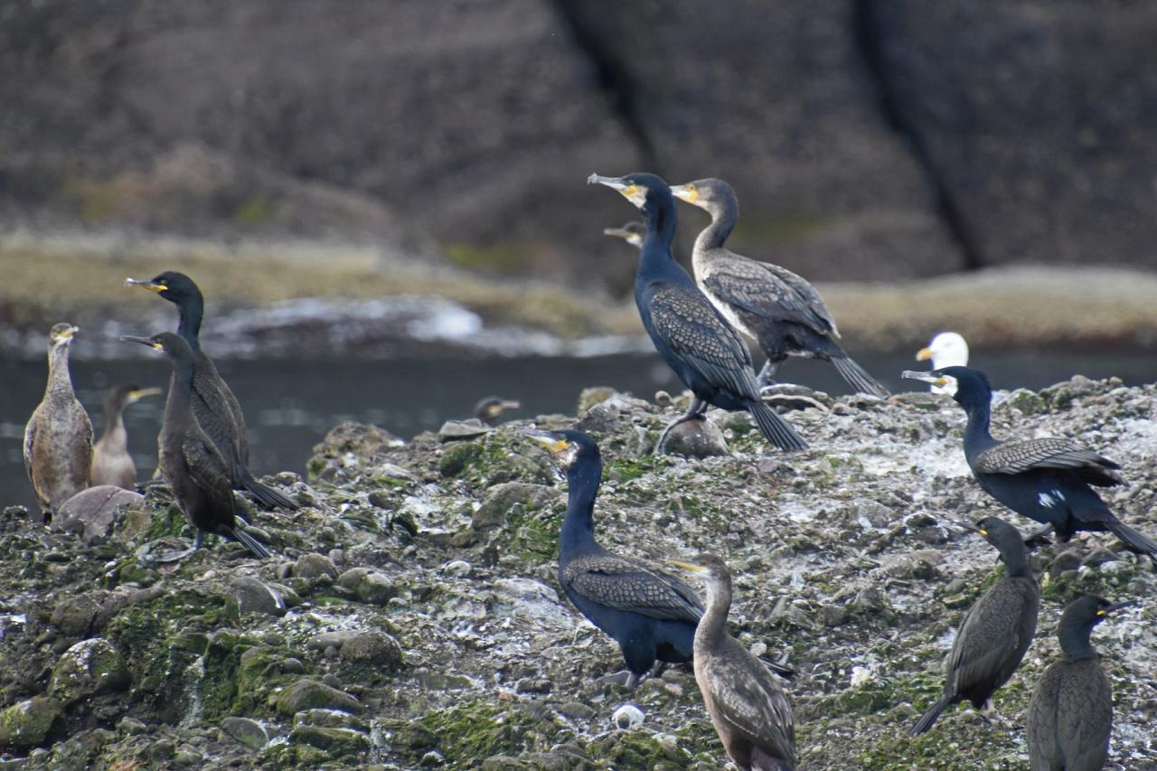 Cormorants, Scotland, Scottish Highlands, Scottish Islands, Scotland Birding Tour, Scotland Nature Tour, Naturalist Journeys