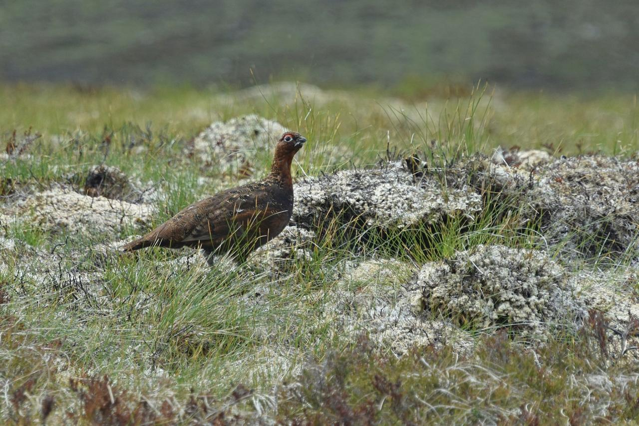 Red Grouse, Scotland, Scottish Highlands, Scottish Islands, Scotland Birding Tour, Scotland Nature Tour, Naturalist Journeys