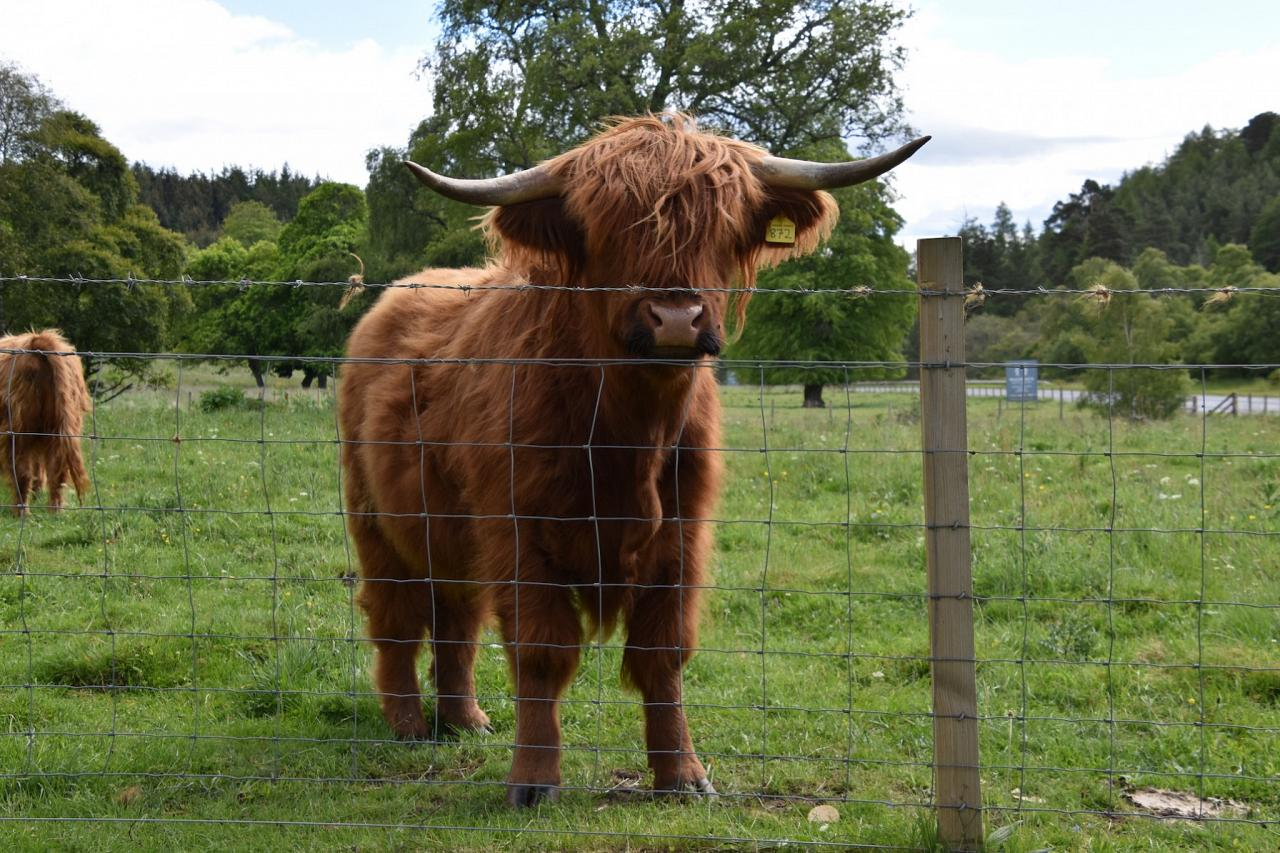 Highland Cattle, Scotland, Scottish Highlands, Scottish Islands, Scotland Birding Tour, Scotland Nature Tour, Naturalist Journeys