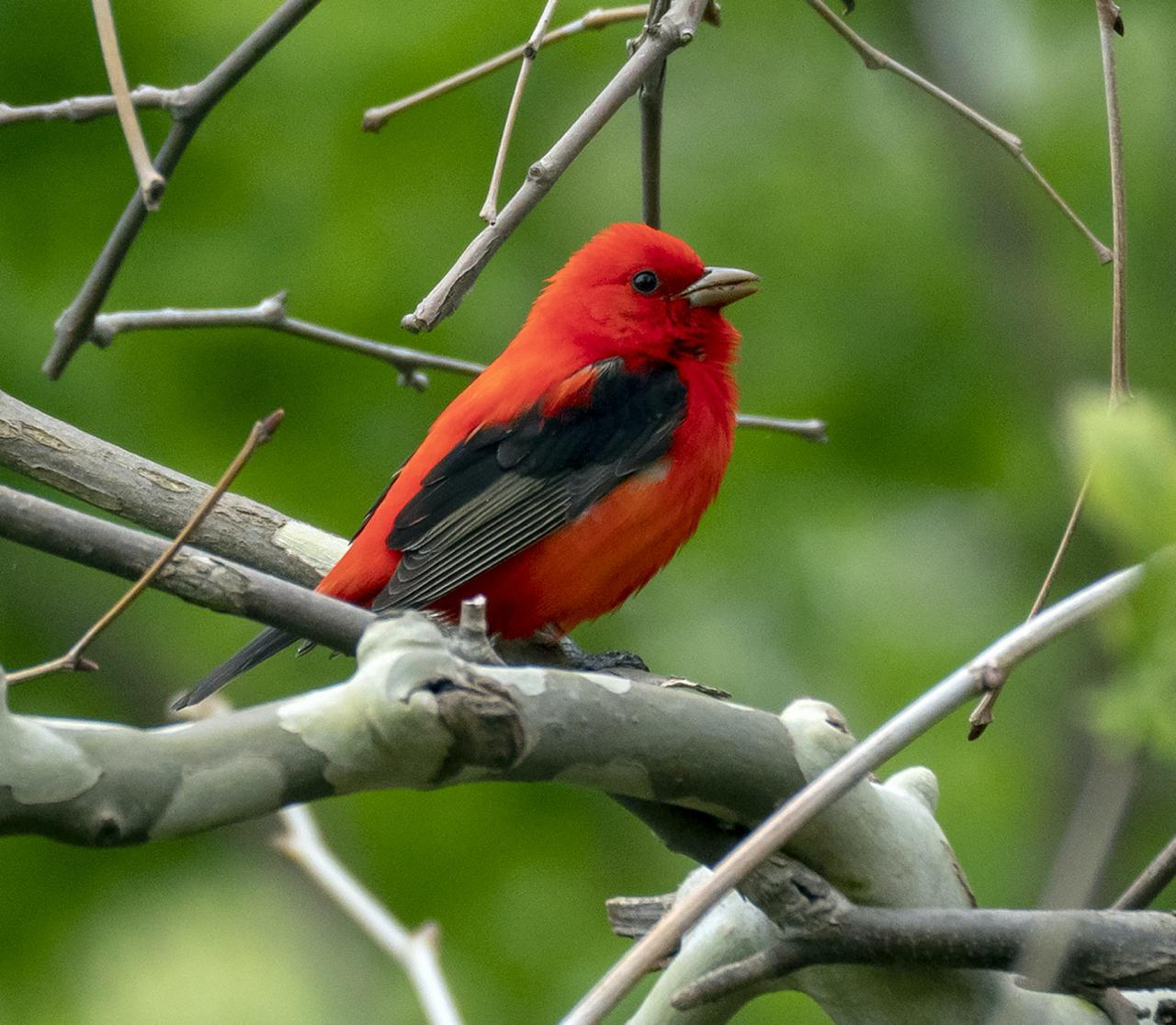 Scarlet Tanager, Ohio, Spring Migration, Maumee Bay, Oak Openings, Spring Migration Tour, Migration Tour, Naturalist Journeys