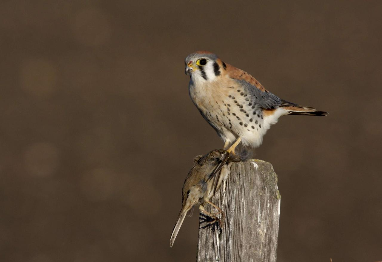 American Kestrel, Colorado, Zapata Ranch, Colorado Nature Tour, Colorado Wildlife Tour, Colorado Ranch, Colorado Birding Tour, Naturalist Journeys