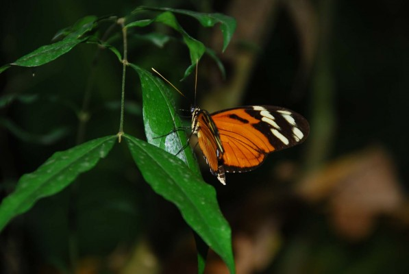 Long-winged Butterfly, Costa Rica, Costa Rica Nature Tour, Costa Rica Birding Tour, Winter Costa Rica Tour, Naturalist Journeys